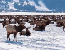 Local's Guide: A Visit to the Elk Refuge